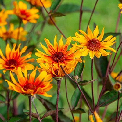 Burning Hearts Heliopsis