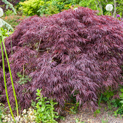 Crimson Queen Japanese Maple Tree