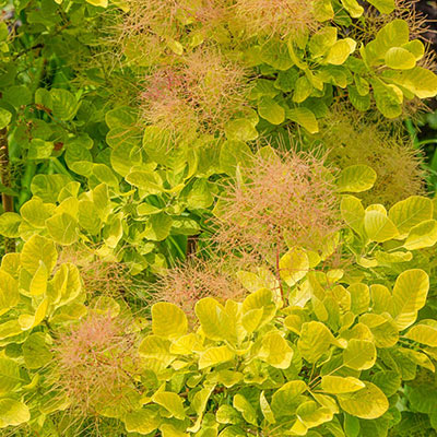 Golden Spirit Smoke Tree