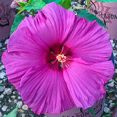 Plum Flambe™ Summer Spice<sup>®</sup> Hibiscus