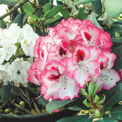 Cherry Cheesecake Rhododendron