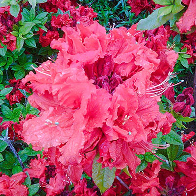 Red Demon Hardy Azalea