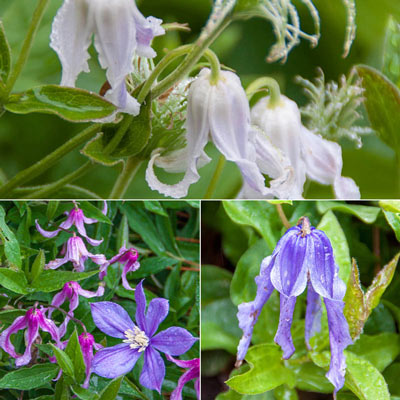 Integrifolia Clematis Little Guys Trio