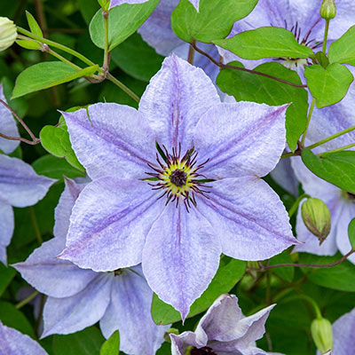 Skyfall Clematis