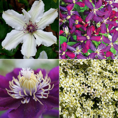 Fragrant Clematis Collection