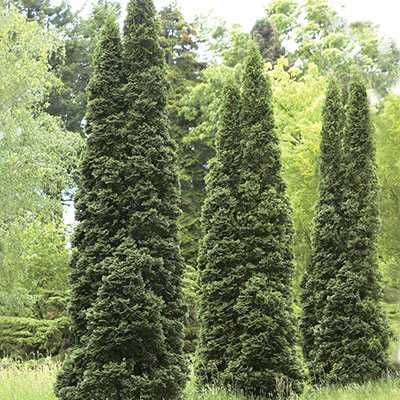Green Giant Thuja