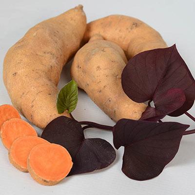 Treasure Island Kaukura Sweet Potato Vine