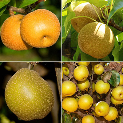 Asian Pear Fruit Tree Assortment