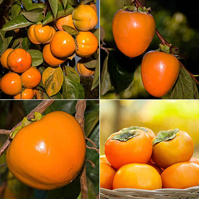 Persimmon Fruit Tree Assortments