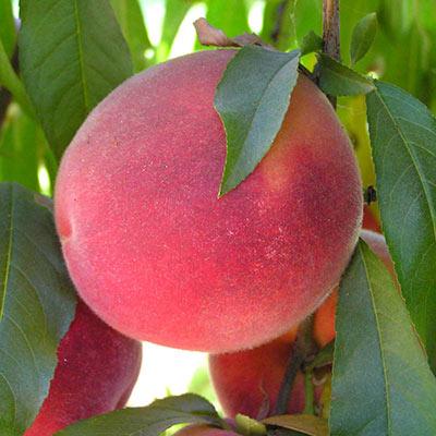 Peach John Fanick™