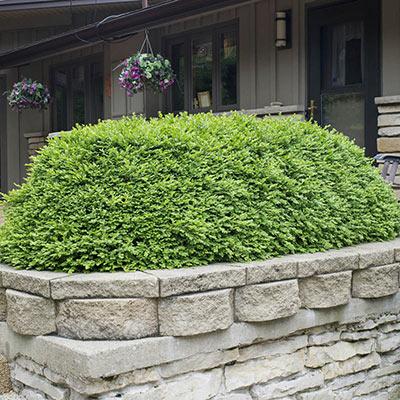 Boxwood Green Velvet Hedge