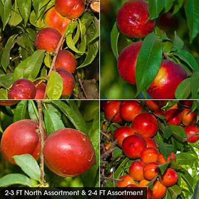 Nectarine Fruit Tree Assortments