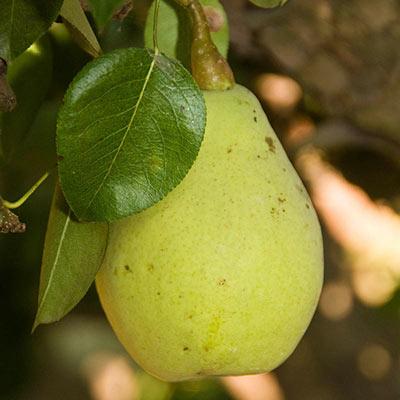 Pear Fan-Cris™
