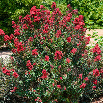 Enduring Summer<sup>™</sup> Reblooming Red Crape Myrtle