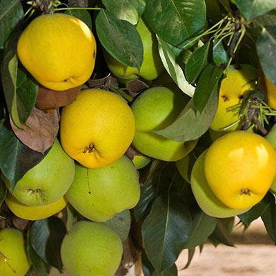 Pear Monterrey