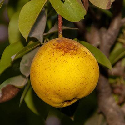Pear Orient