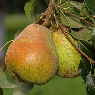 Pear Comice