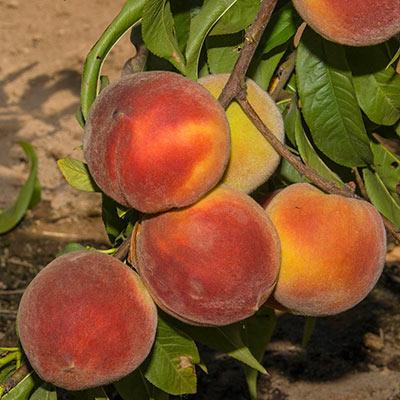 Peach Crimson Rocket