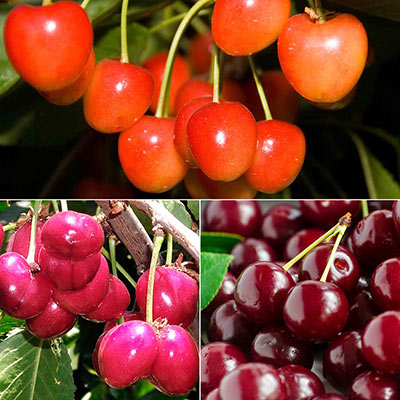 Most Popular Sweet Cherries Collection