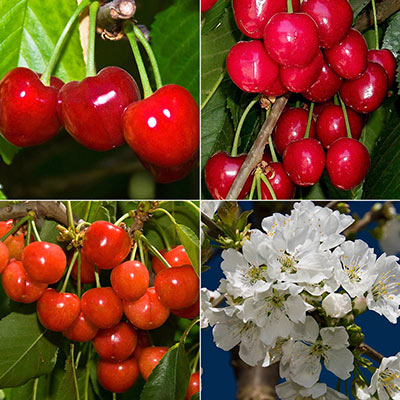 Superior Flavor Cherry Tree Collection