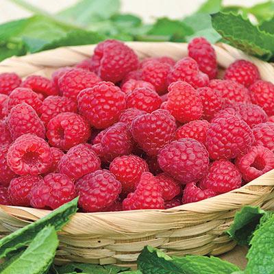 Raspberry Willamette