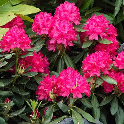 Nova Zembla Rhododendron