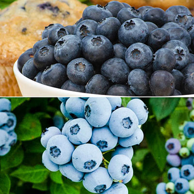 Best of The Best Blueberry Collection