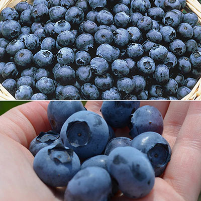 Huge Fruit Blueberry Collection