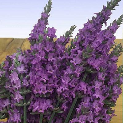 Sensational Lavender