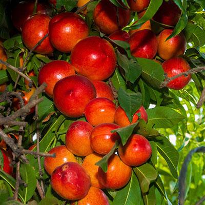 Sunred Nectarine