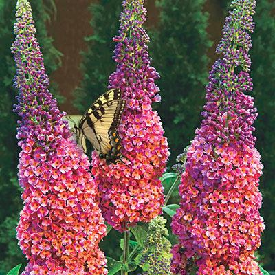 Buy Rainbow Butterfly Bush At Spring Hill Nursery