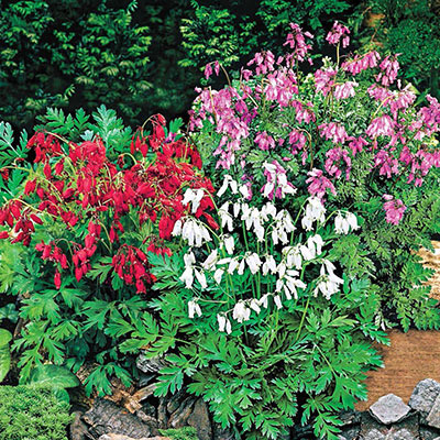 Reblooming Dwarf Bleeding Heart Blend