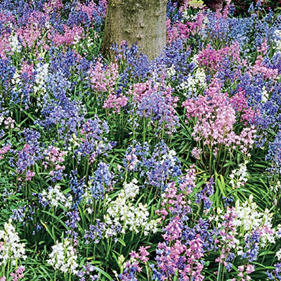 Wood Hyacinths Mixed