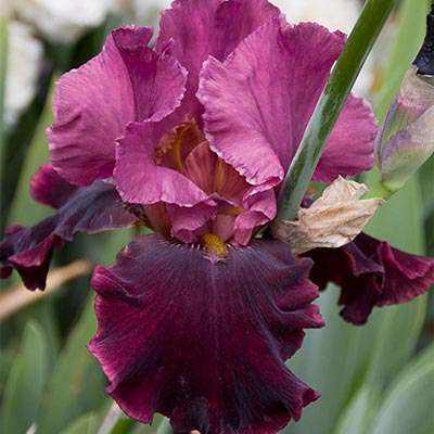 Medici Prince Iris
