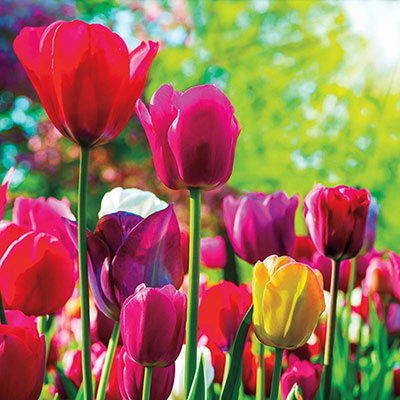 Mixed Long-Stemmed Perennial Tulip Super Bag