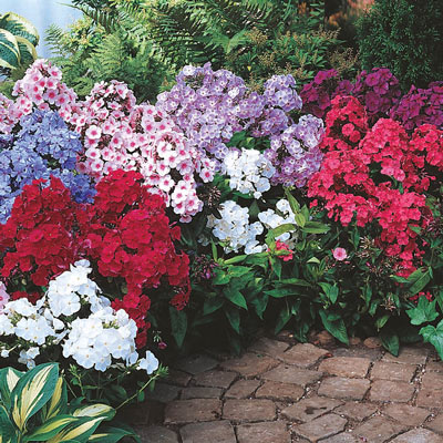 Summer Glow Tall Phlox Collection