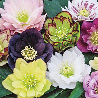 Fluffy Ruffles Double Lenten Rose Mix