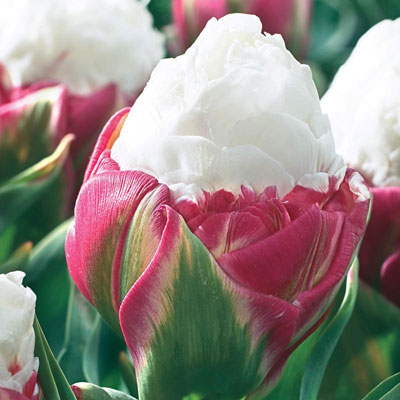 Ice Cream Tulip