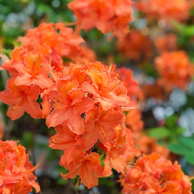 Mandarin Lights Deciduous Azalea