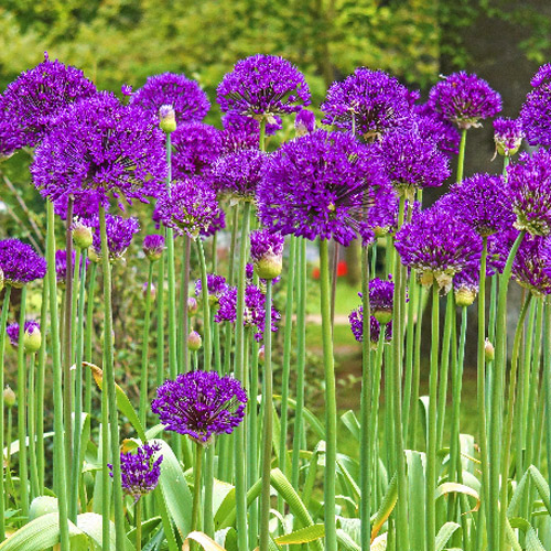 buy purple sensation allium at spring hill nursery. Black Bedroom Furniture Sets. Home Design Ideas