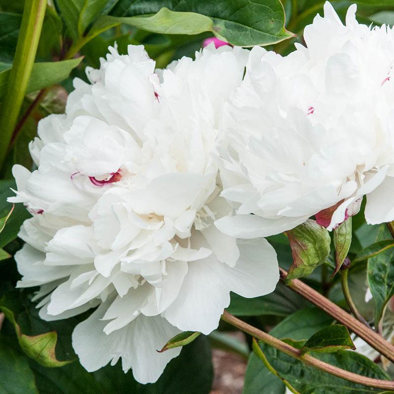 Parfum de Bloom<sup>™</sup><br>Festiva Maxima Peony