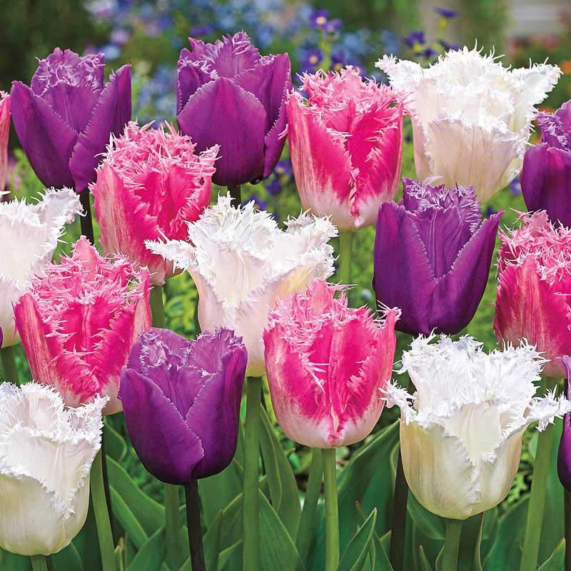 Ice Crystal Tulip Trio