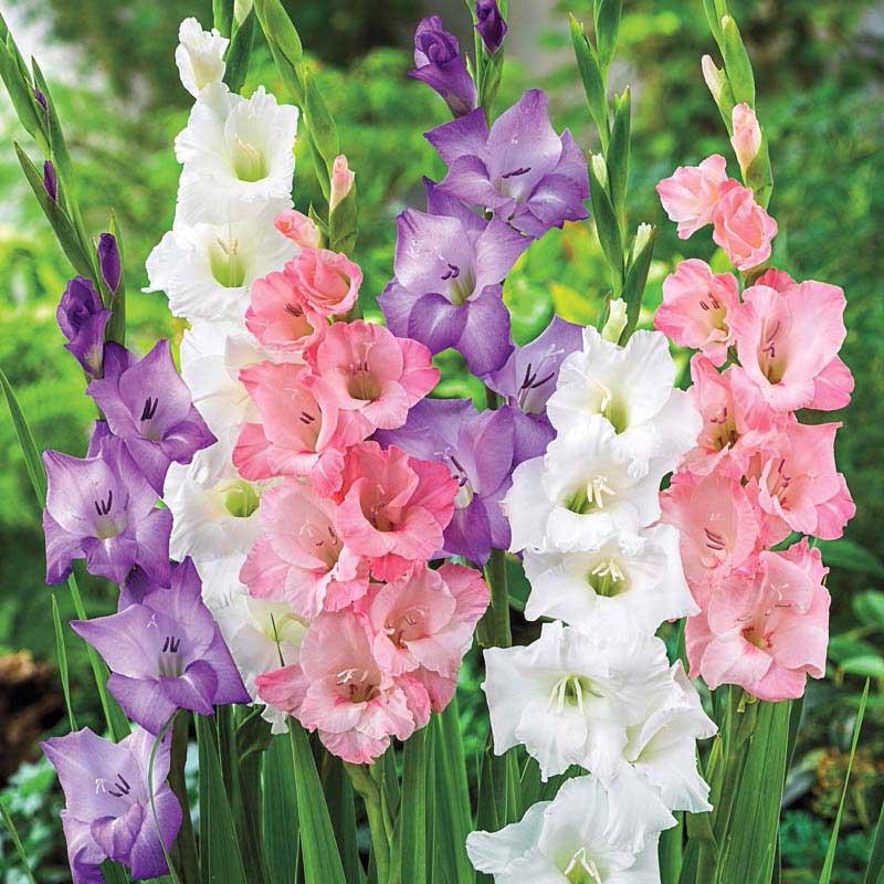 Pastel Gladiolus Mix