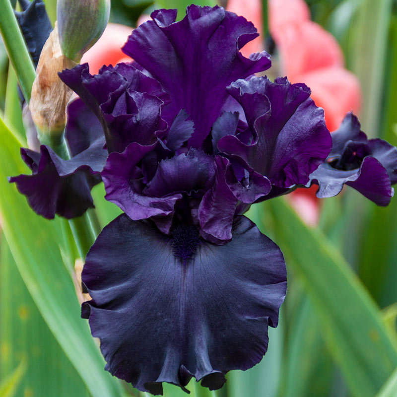 Raven Girl Bearded Iris