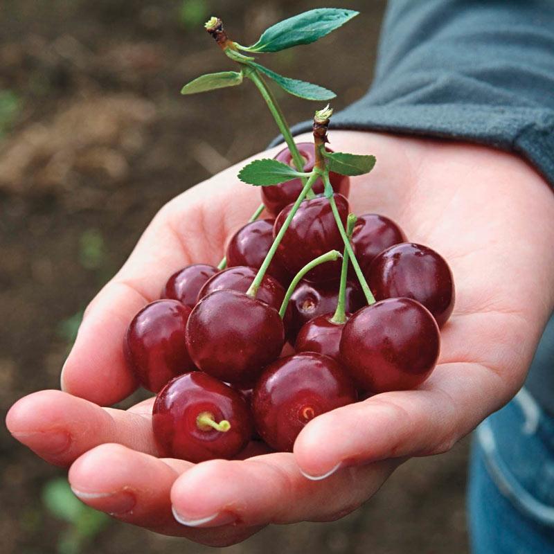 Romeo™ Dwarf Cherry Hedge