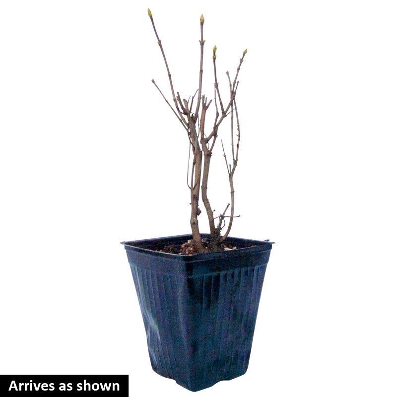 Primrose Lilac Shrub