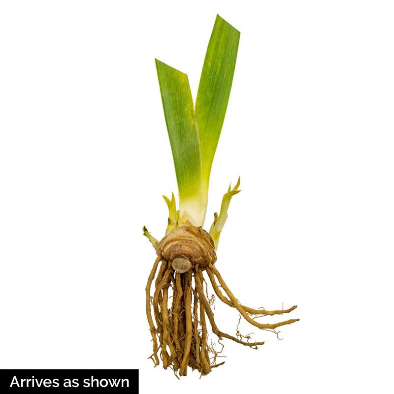 Speed Limit Reblooming Bearded Iris