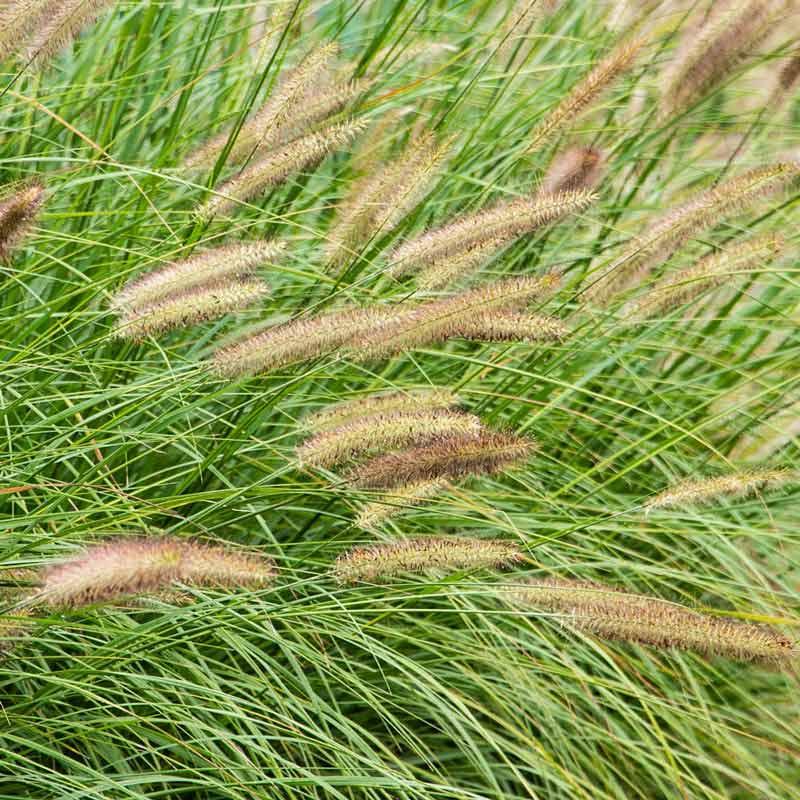 Fox Trot Fountain Grass