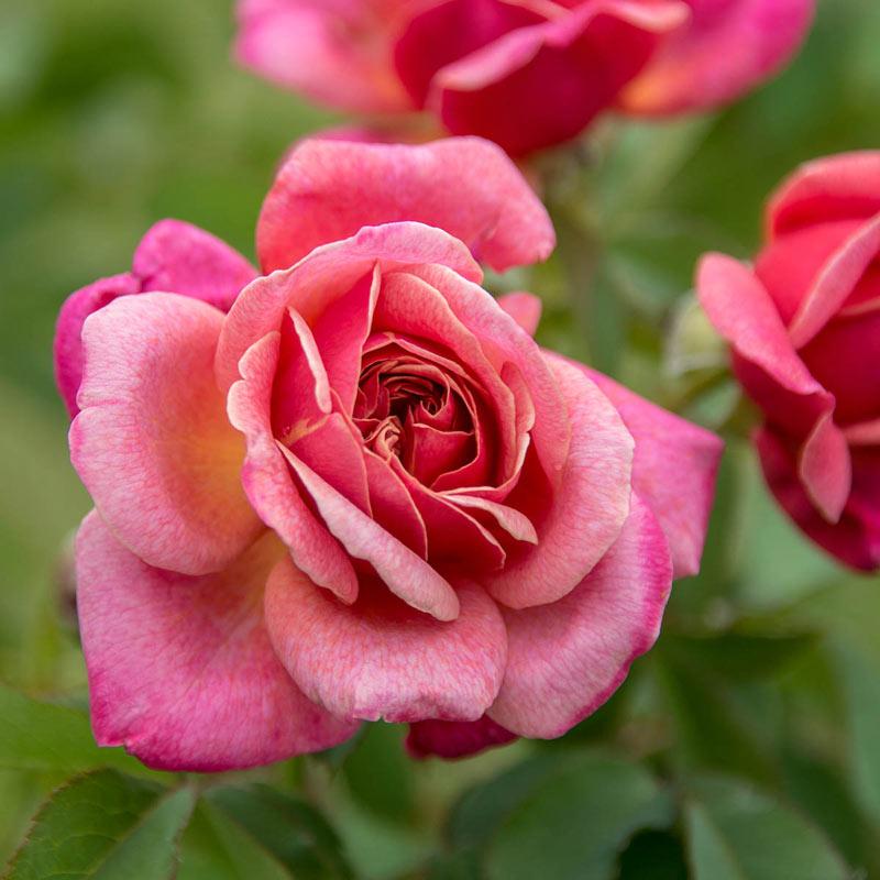 Queen of Elegance™ Floribunda Rose