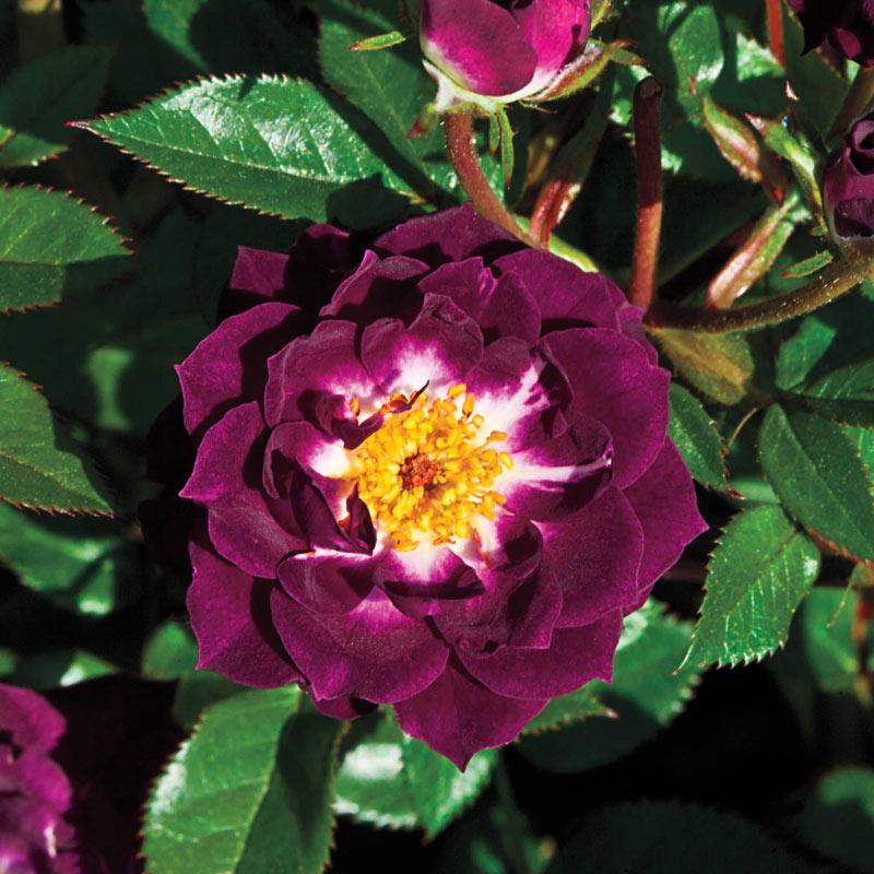 Diamond Eyes<sup>™</sup> Miniature Rose
